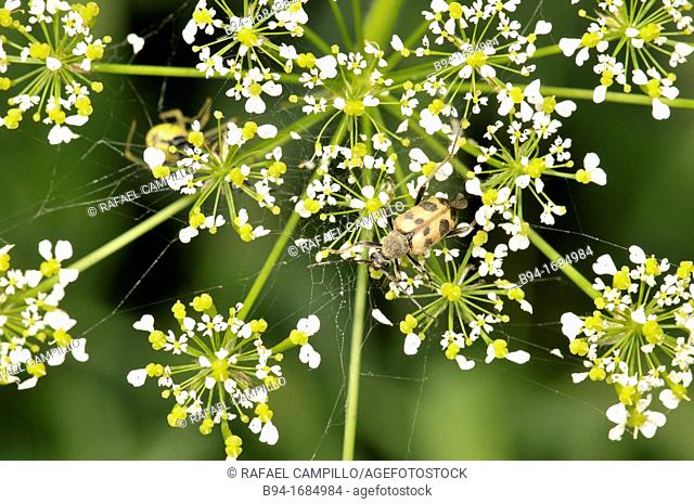 Apiaceae plant with coleopteran, Osseja, Languedoc-Roussillon, Pyrenees Orientales, France