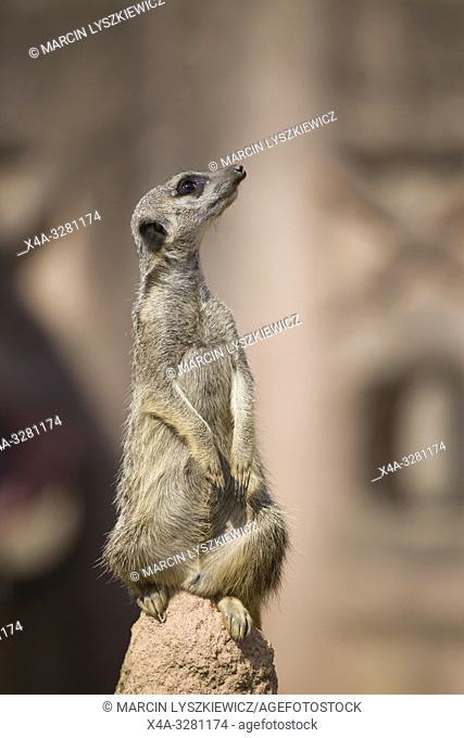 meerkat, Hannover Zoo