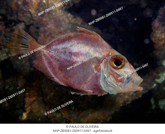 Rosy dory, Cyttopsis rosea, lateral view. Composite image. Portugal