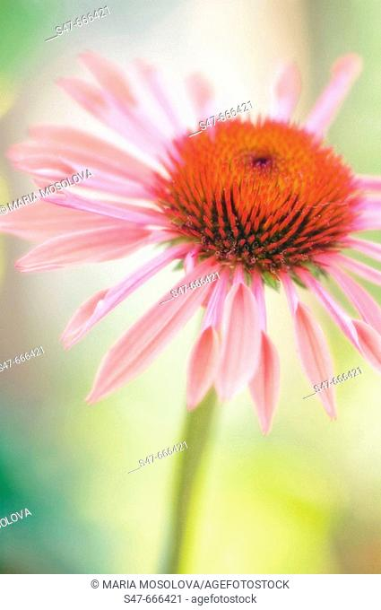 Pink Coneflower. Echinacea purpurea. June 2007, Maryland, USA