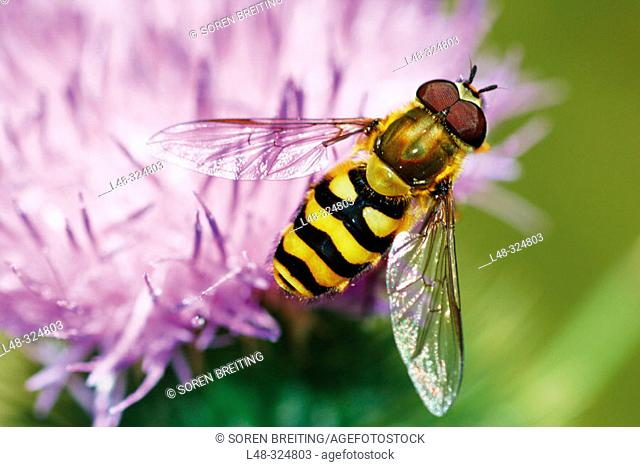 A whasp-like or bee-like hoverfly (Syrphus ribesii) searching for pollen on lilac flower