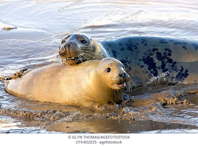 Grey Seals Halichoerus grypus at Donna Nook, Lincolnshire, England, UK