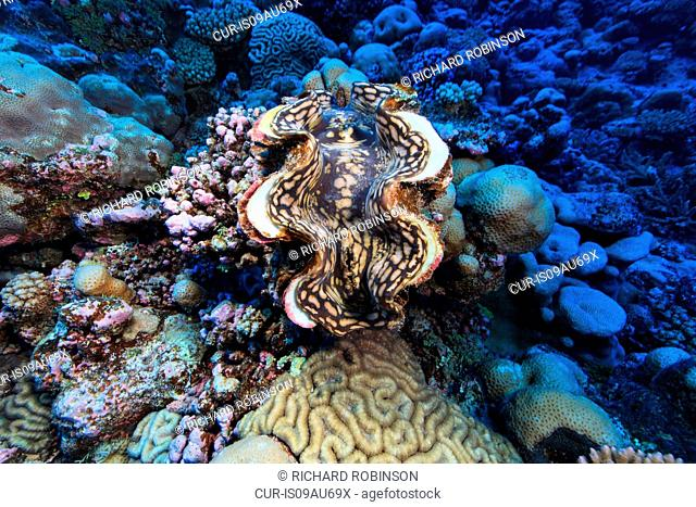 Underwater view of Tridacna maxima (giant clam) at Palmerston Atoll, Cook Islands