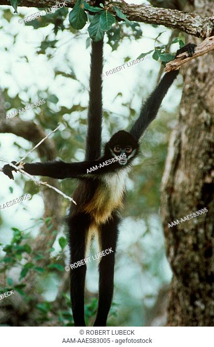Spider Monkey Hanging from Tree (Ateles geoffroyi) Belize, Central America