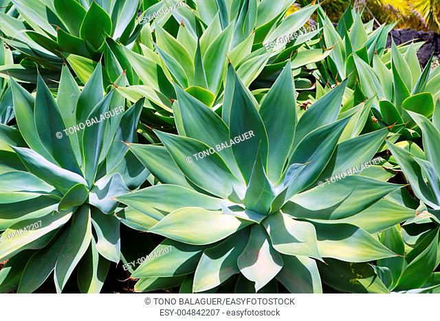 Agave Attenuata cactus plant from Canary Islands in La Palma
