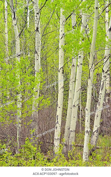 Spring foliage and aspen tree trunks , near Sheguiandah, Manitoulin Island, Ontario, Canada