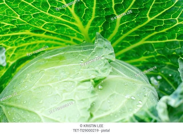 Close-up of cabbage leaves