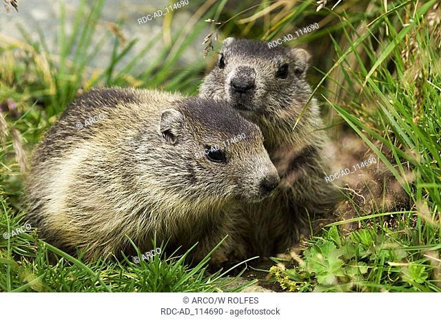 Young Alpine Marmots Grossglockner national park Hohe Tauern Austria Marmota marmota alps