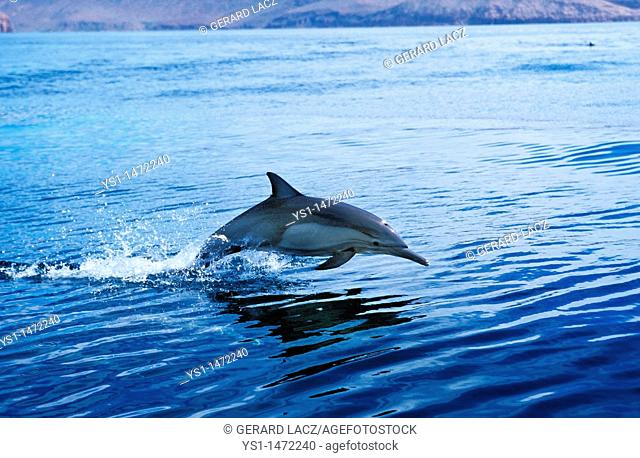 Common Dolphin, delphinus delphis, Adult Leaping, Mexico