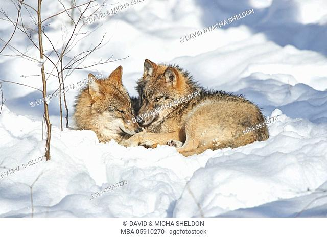 Wolves, Canis lupus, winter, wood, side view, lie