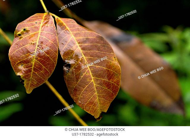 Dried leaves. Image taken at Kampung Satau, Singai, Sarawak, Malaysia