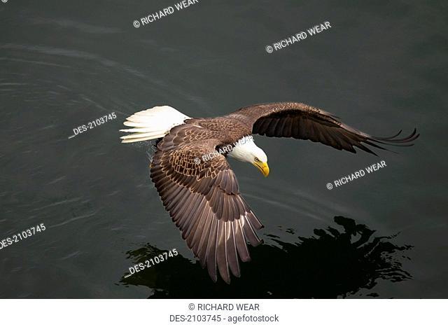 Bald eagle haliaeetus leucocephalus flying over water, olympia washington united states of america
