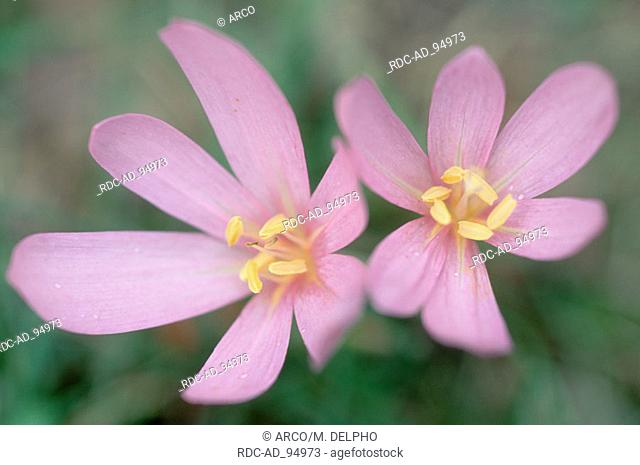 Meadow Saffron Hessen Germany Colchicum autumnale