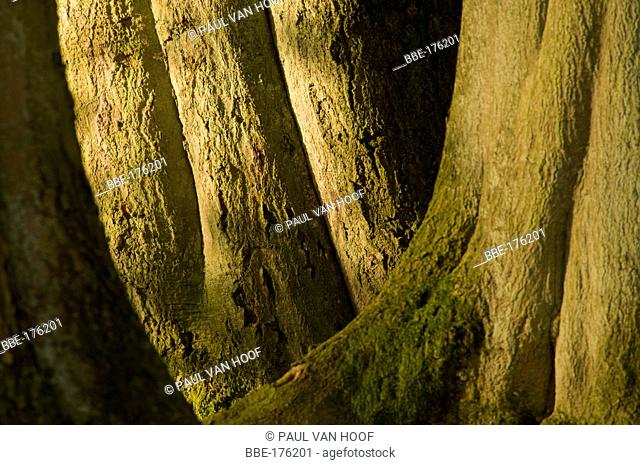 Trunks of three large old beech trees in morgning light fill the image