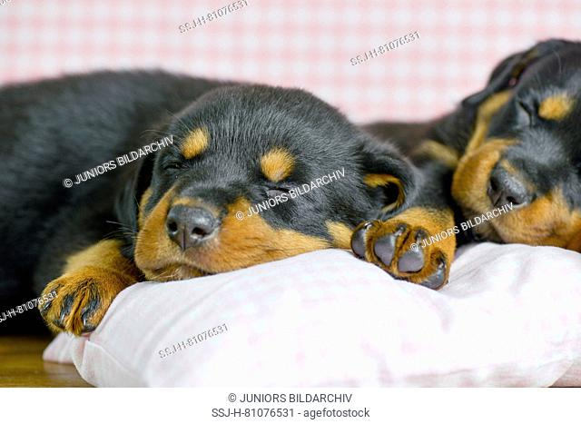 Rottweiler. Two puppies (5 weeks old) sleeping on a pillow. Studio picture. Germany