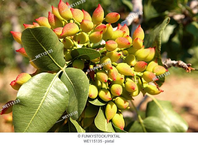Fresh pistachio nuts growing on bushes  Aegina, Greek Saronic Islands