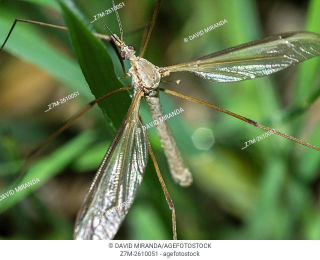 Crane fly (Tipula oleracea, fam.  Tipulidae). Diptera. Macro. Spain
