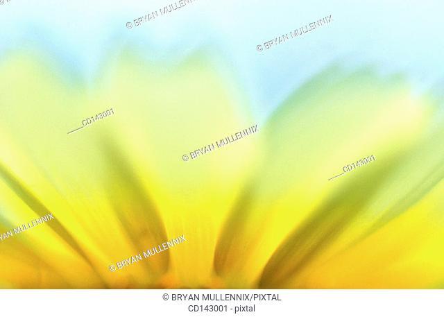 Bush Sunflower (Encelia californica)