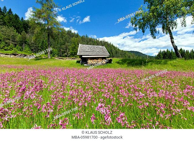 splendid meadow of pinks in front of wooden hut