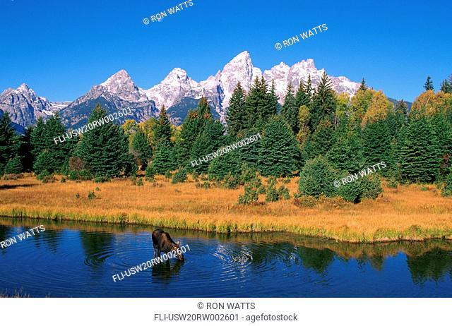 R.Watts, Grand Teton Nat'l Park, Snake River, Cow Moose Feeding, Wyoming