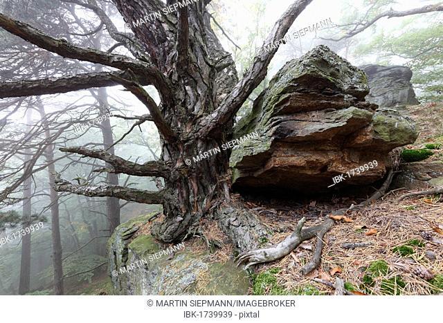 Rocks and a pine tree in a forest, Sandl near Duernstein, Wachau valley, Waldviertel region, Lower Austria, Austria, Europe