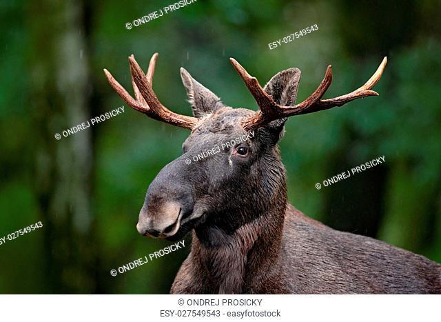 Moose, elk