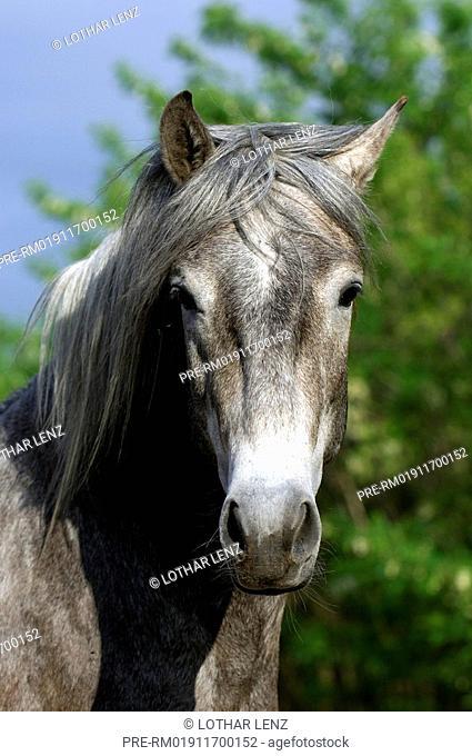 Lusitano horses , Horse