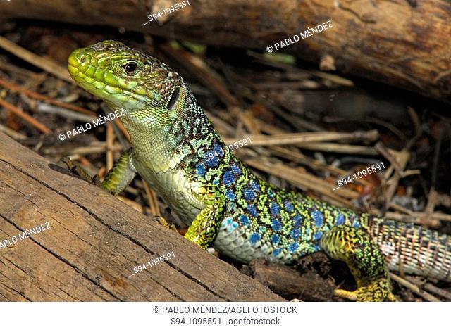 """Ocellated lizard """"""""Timon lepidus"""""""" in Barranco del Cabrerizo area, Albarracin mountain range, Teruel, Aragon, Spain"""