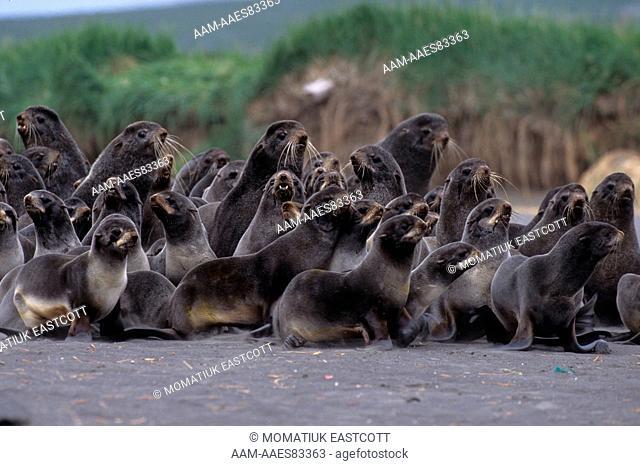 N. Fur Seal Males herded on beach (Callorhinus ursinus), St. Paul Is., Pribilofs, AK