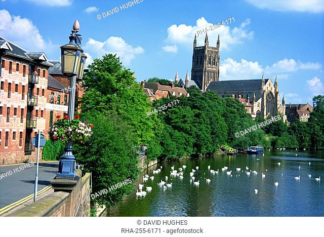 Swans on the River Severn and cathedral, Worcester, Worcestershire, England, United Kingdom, Europe