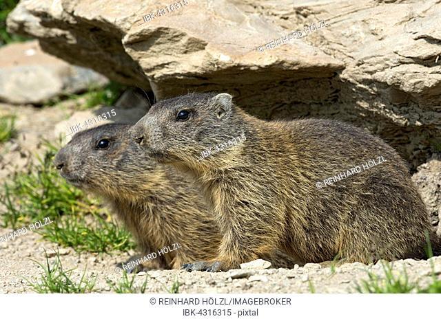 Alpine marmots (Marmota marmota) by their burrow, Offspring, Alp Trida, Samnaun, Canton of Grisons, Switzerland