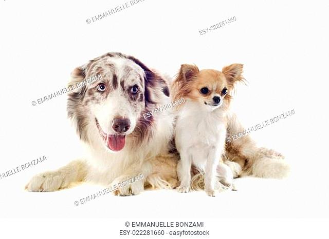 border collie and chihuahua