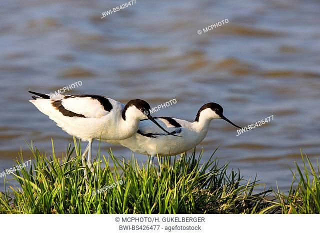 pied avocet (Recurvirostra avosetta), two pied avocets on the shore, Germany