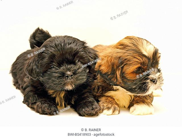 Lhasa Apso (Canis lupus f. familiaris), two eight weeks old cute puppies in a studio, white background