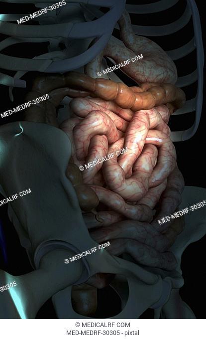 The intestines