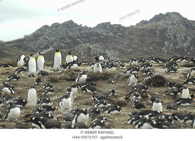 The Falklands, Falkland, South America, stanley, sparrow cove, penguin, colony, Pygoscelis Papua, gentoo penguin, penguin, Aptenodytes patagonicus, king penguin