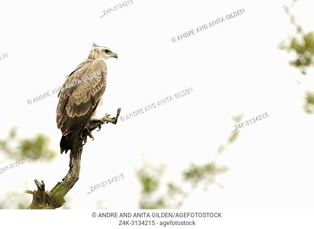 Martial Eagle (Polemaetus bellicosus) on tree branch, Kruger National Park, South Africa