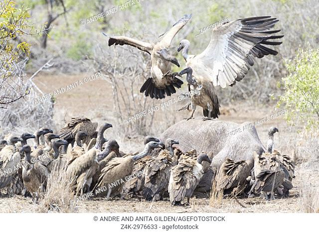 White-backed vulture (Gyps africanus and cape vulture (Gyps coprotheres) fighting over carcass, Kruger national park, South Africa