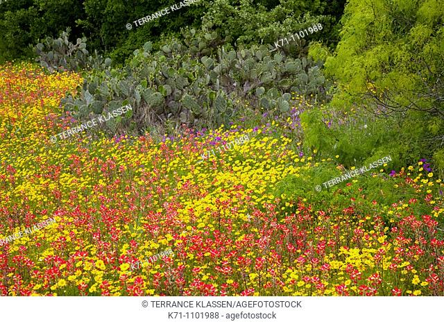 A field of multi-colored spring wildflowers near Seguin, Texas, USA