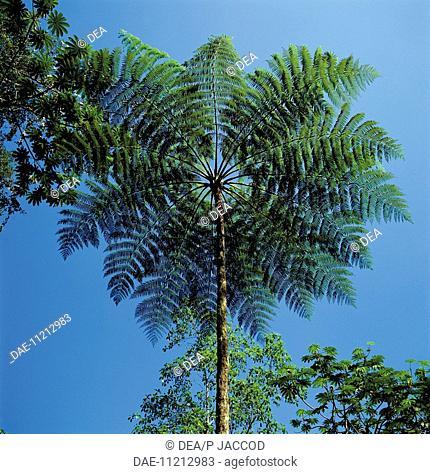Venezuela, Aragua, Henri Pittier National Park, rainforest with tree-fern
