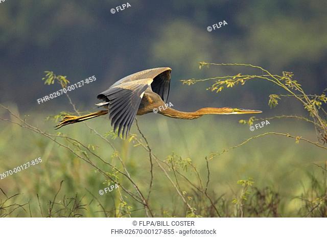 Purple Heron Ardea purpurea juvenile, in flight, Keoladeo Ghana N P Bharatpur, Rajasthan, India