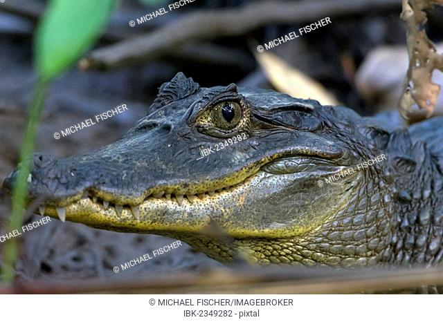 Spectacled Caiman (Caiman crocodilus), Sierpe, Puntarenas Province, Costa Rica, Central America
