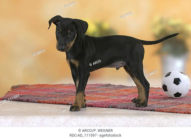 Manchester Terrier puppy 8 weeks side