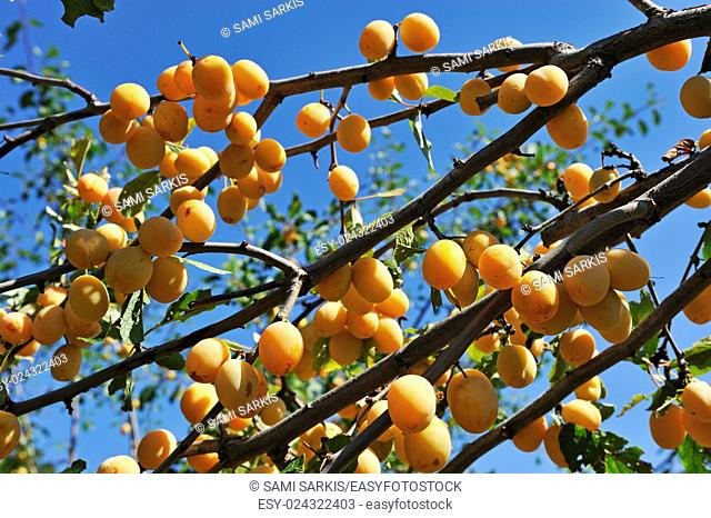 Plums on tree branches in summer