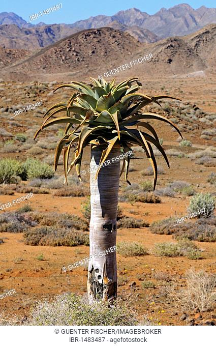 Mountain scenery with Aloe pillansi in the foreground, Richtersveld National Park, South Africa