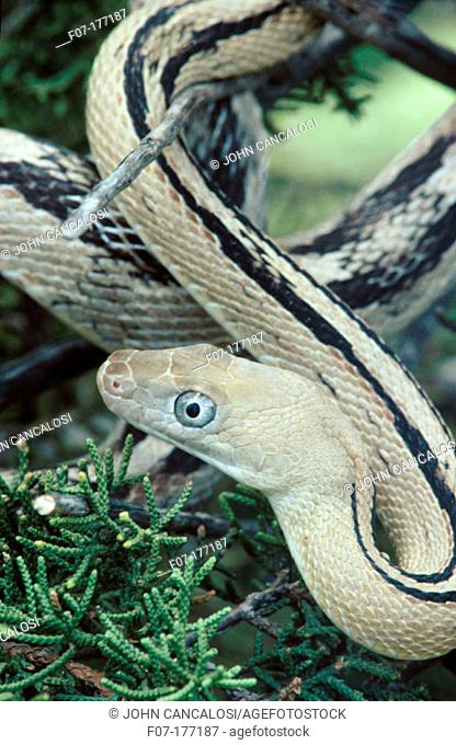 Trans Pecos Rat Snake (Elaphe subocularis). Texas, USA