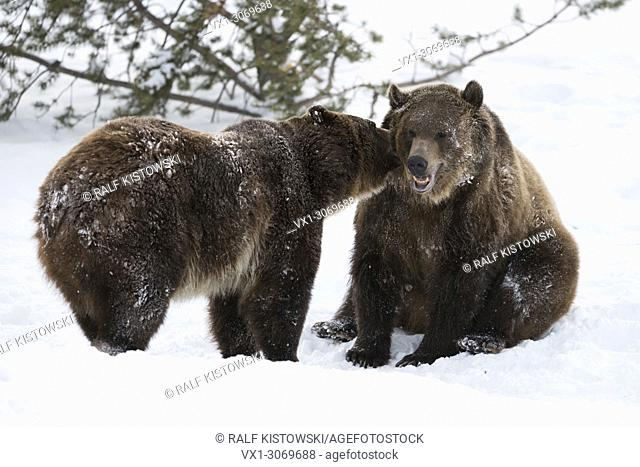 North American Brown Bears / Grizzly Bears (Ursus arctos horribilis) in winter, snow, captive, in funny situation, Montana, USA