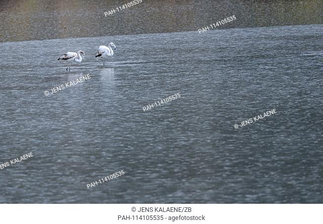 12.12.2018, Turkey, Didim: Flamingos stand in the Bafasee in the rain. The water is an inland lake formed on the western coast of Turkey from an earlier inlet