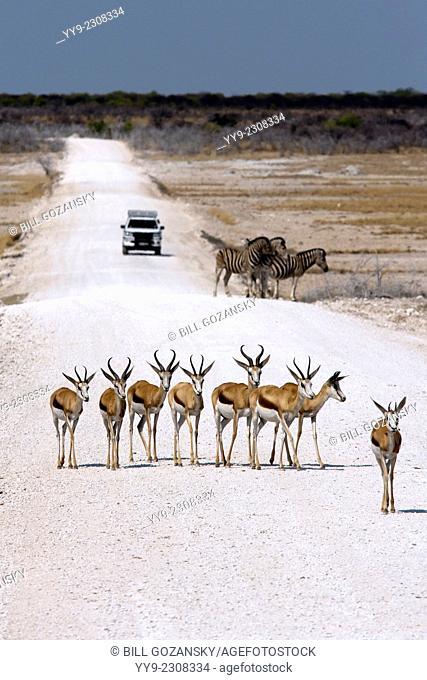 Springbok (Antidorcas marsupialis) - Etosha National Park - Namibia, Africa