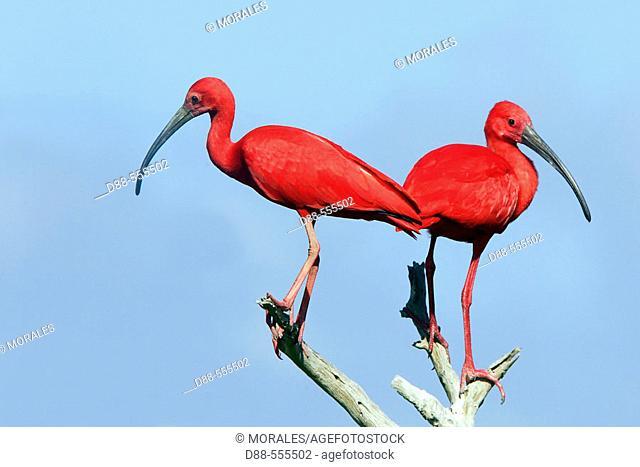 Scarlet Ibis (Eudocimus ruber). Venezuela